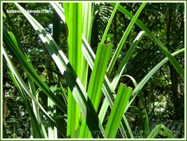 Pandanus leaves in the Daintree tropical rainforest