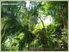 Rainforest canopy in the Daintree near Kuranda
