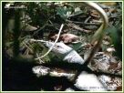 Lace Monitor Lizard in the Daintree undergrowth near Kuranda