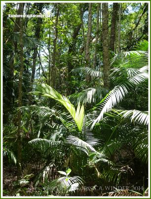 Daintree rainforest near Kuranda