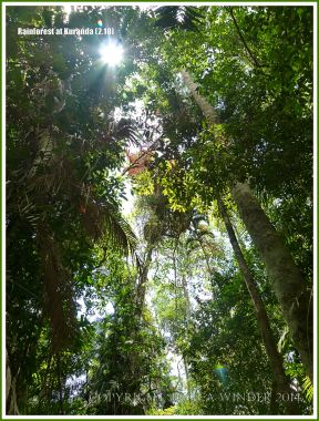 Rainforest canopy in the Daintree near Kuranda
