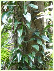 Leaves of a climber around a tree in the rainforest