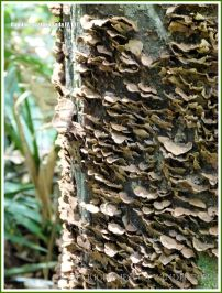 Bracket fungi on a tree trunk in the rainforest at Kuranda