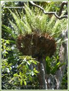 Basket or Bird's Nest Fern in the Daintree rainforest at Kuranda in Queensland, Australia.