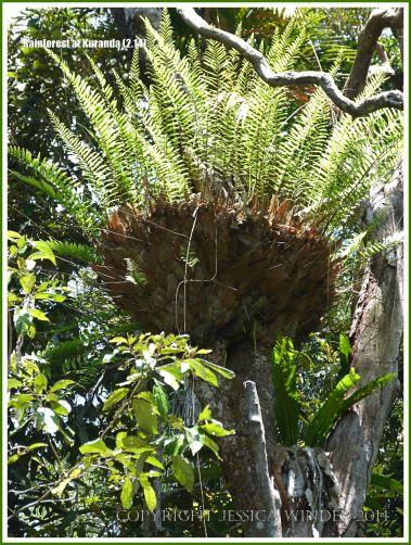 Basket or Bird's Nest Fern in the Daintree rainforest at Kuranda in Queensland, Australia.