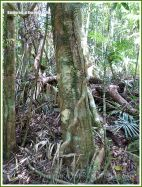 Twisted vines around a tree in the Daintree tropical rainforest