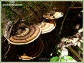 Bracket or woody shelf fungi on decaying wood in the forest near Kuranda