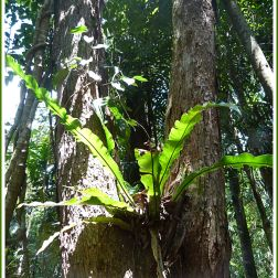 Epiphytic Asplenium Fern high in a tree of the Daintree near Kuranda