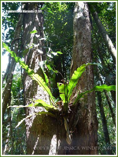 Epiphytic Asplenium Fern high in a tree of the Daintree near Kuranda