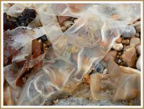 Common British kelp seaweed