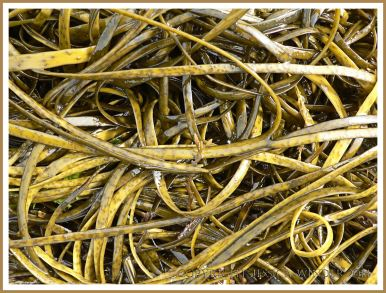 Common British seaweed