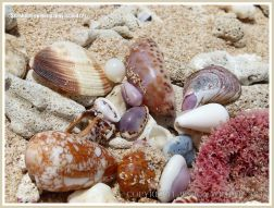 Seashells on Normanby Island