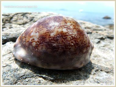 Seashells on Normanby Island