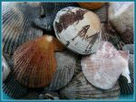 Small Scallop seashells and Manila Clam