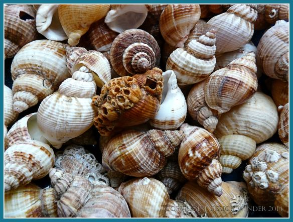 Common Whelk seashells