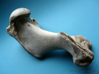 Grey Seal humerus bone