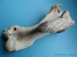 Grey Seal humerus bone
