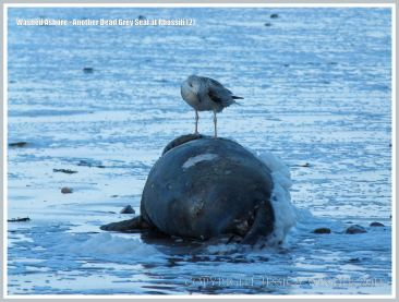 Gull sitting on a dead Grey Seal washed ashore