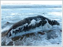 Dead adult Grey Seal washed ashore with sea foam