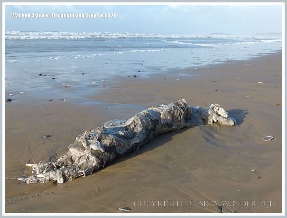 Decomposing body of a Grey Seal on a sandy beach