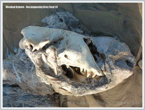 Skull of Grey Seal exposed by rotting flesh