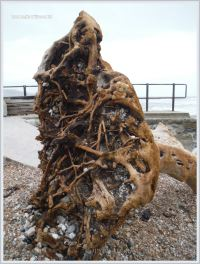 Tangled root system of a driftwood tree