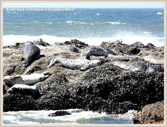 Harbour Seals basking on a remnant of basalt wave-cut platform