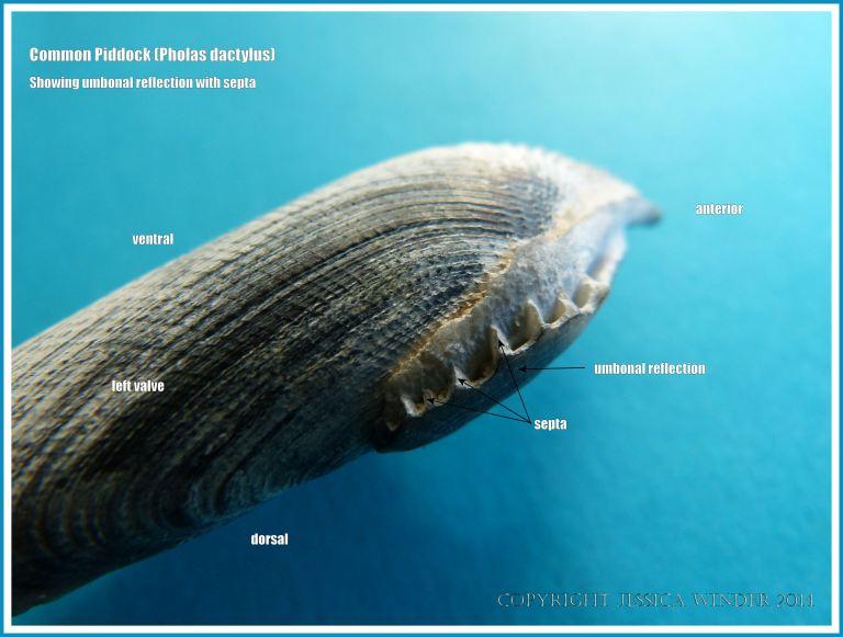 Common Piddock shell showing umbonal reflection