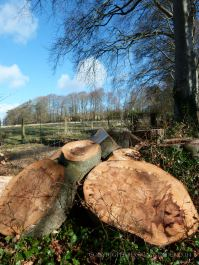 Tree stump and logs with patterns from recently felled beech tree