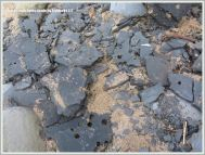 Broken shale slab with piddock holes and shells