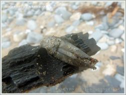 Common Piddock shell in rock burrow