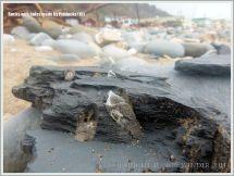 Common Piddock shells in rock burrows