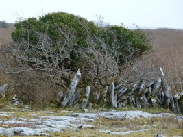 Limestone pavement, old stone wall and stunted tree on the Burren