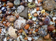 Seashells at Dogs Bay