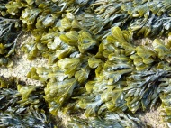Seaweed on the rocks at Dogs Bay