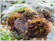 A commonly-found flat bladed form of Irish Moss seaweed