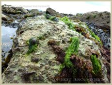 Chalk seashore boulder with seaweeds, seashore creatures and tube-worm holes.