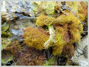 Believed to be a less frequently found small golden finely branched form of Irish Moss seaweed