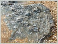 Low-shore rock outcrop with fossil oysters in situ at Ringstead Bay on the Jurassic Coast