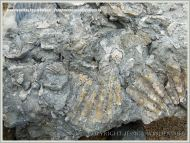 Jurassic fossil bivalve shells embedded in rock on the beach