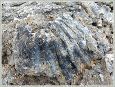 Jurassic fossil bivalve shell embedded in rock on the beach