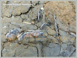 Fossil oysters in situ at Ringstead Bay on the Jurassic Coast