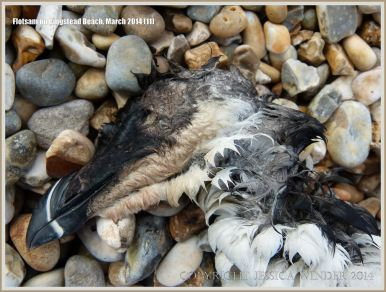 Dead Razorbill washed up on Ringstead Beach