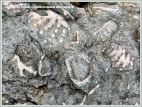 Jurassic fossil seashells embedded in rock pavement at Ringstead Bay