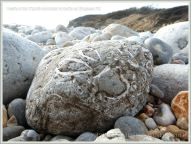 Jurassic fossil seashells embedded in a beach stone at Ringstead Bay