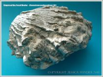 Complete specimen of Jurassic fossil bivalve shell from Ringstead Bay