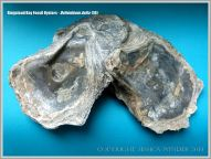 Cluster of attached fossil oysters from Ringstead Bay on the Jurassic Coast