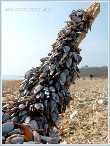 Goose or stalked barnacles (Lepas anatifera) on driftwood