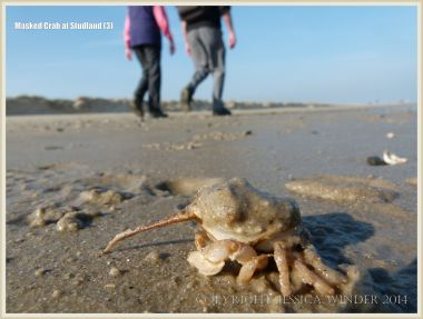 Masked Crab newly emerged from the wet sand