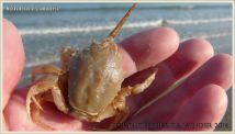 Small Masked crab in my hand